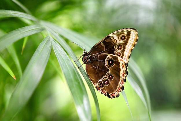 Тропическая бабочка caligo atreus сидит на зеленой траве. красивые насекомые- существа дикой природы