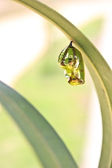 Tropical butterfly cocoon hanging on leave.