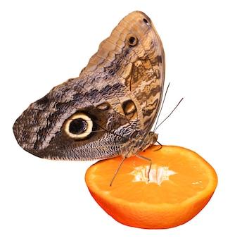 오렌지 슬라이스 절연에 자리 잡고 먹는 열 대 나비