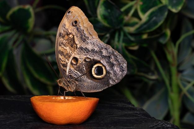 오렌지 슬라이스에 자리 잡고 먹는 열 대 나비.