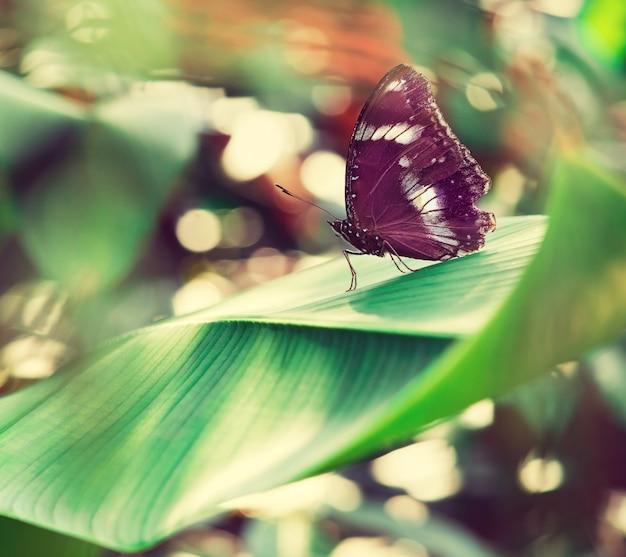 열 대 나비는 큰 녹색 이국적인 잎에 앉아있다. 매크로 사진. 정물. 남아시아, 태국.