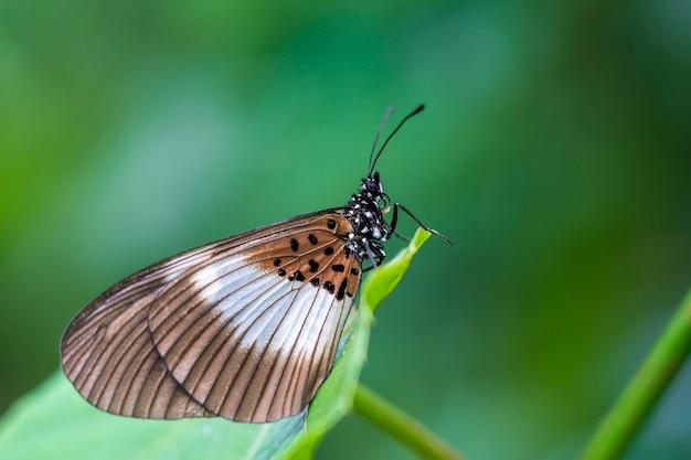 Тропическая бабочка на зеленых листьев. танзания, африка