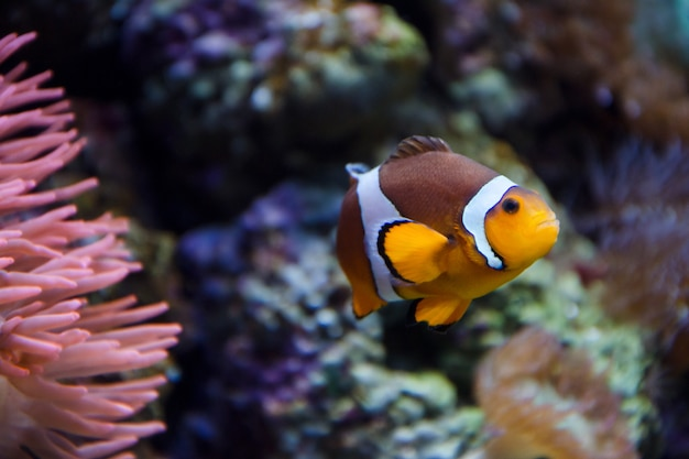 Tropical clownfish swims near coral reef