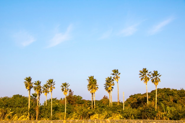제주도의 열대 코코넛 야자 머릿단