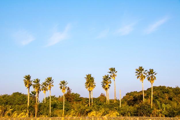 Tropical coconut palm tress in  jeju island, korea