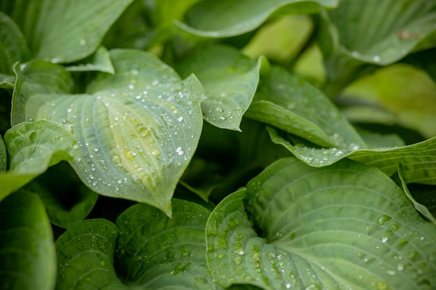 Tropical concept, green background. plant host after the rain, drops of water on large leaves.selective focus. ecology concept. green leaves texture. rainy weather