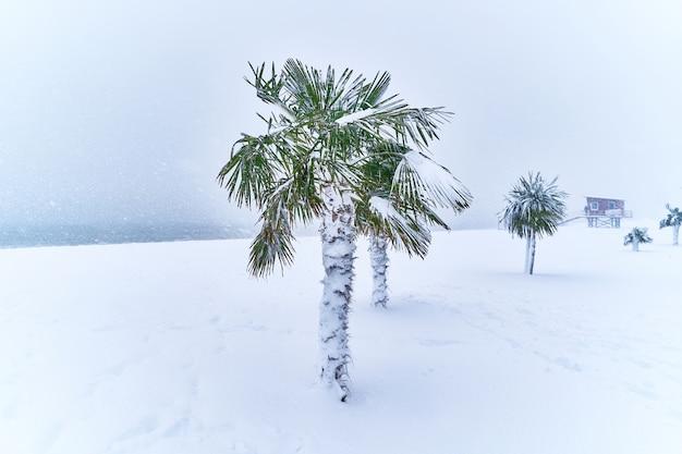 Тропические вечнозеленые пальмы, покрытые снегом