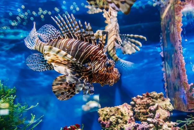 Тропическая экзотическая рыба красная крылатка pterois volitans плавает в аквариуме
