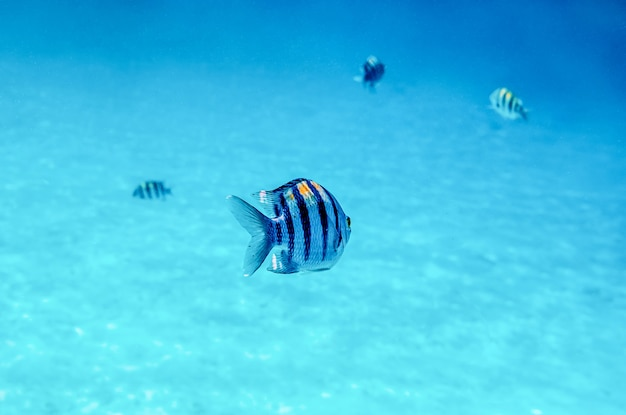 Tropical fish in warm water of red sea