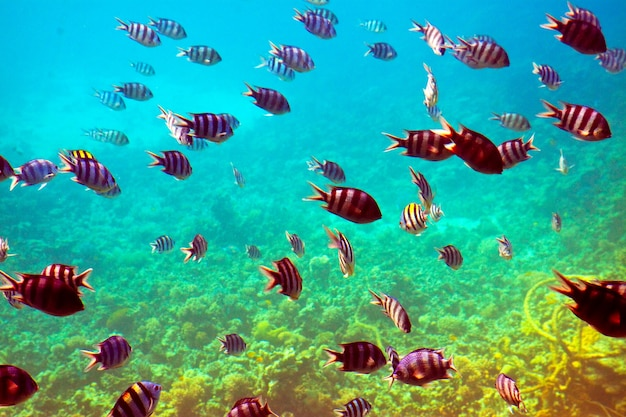 Тропические рыбы в районе коралловых рифов