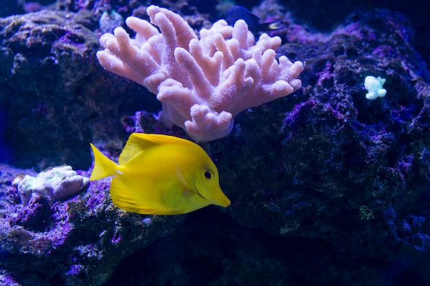 Tropical fishes swim near coral reef.
