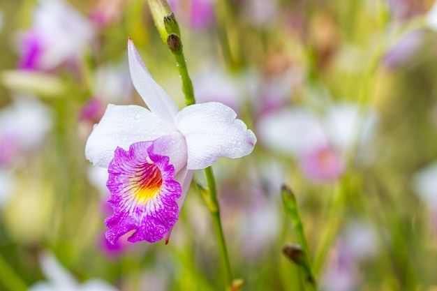 Поле тропических цветов, фиолетовая орхидея: arundina graminifolia, редкий вид, в мягком размытом стиле, зеленые листья и другие размытые цветы на фоне, макро.