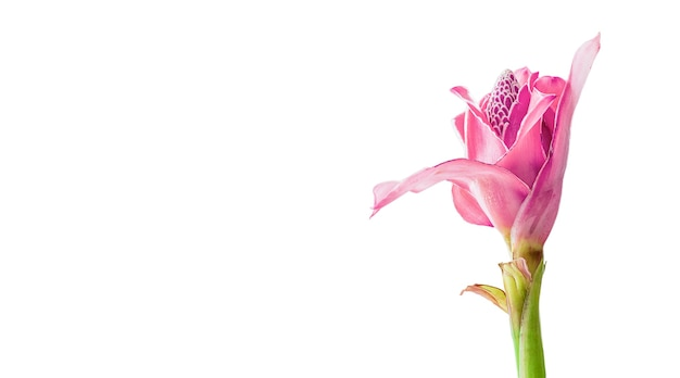 복사 공간이 있는 흰색 배경에 격리된 열대 꽃 분홍색 토치 생강(etlingera elatior 또는 zingiberaceae)