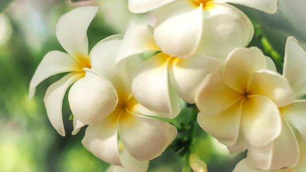 Тропические цветы франжипани (plumeria). красивый белый цветок plumeria rubra