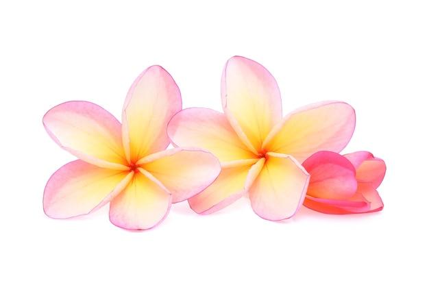 白い背景で隔離の熱帯の花フランジパニ(プルメリア)