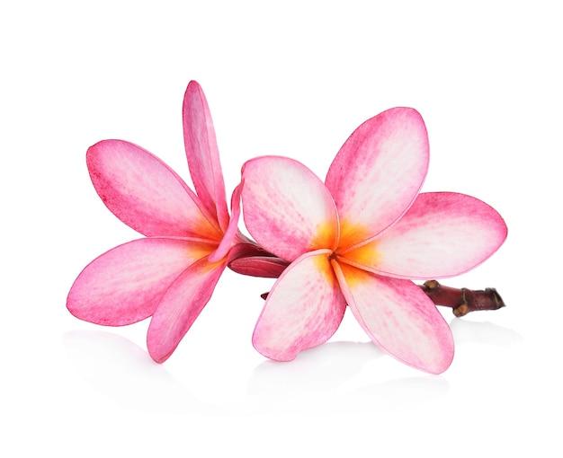 열 대 꽃 frangipani (plumeria) 흰색 배경에 고립