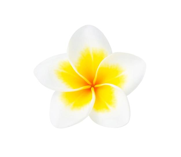 白で隔離される熱帯の花フランジパニ(プルメリア)