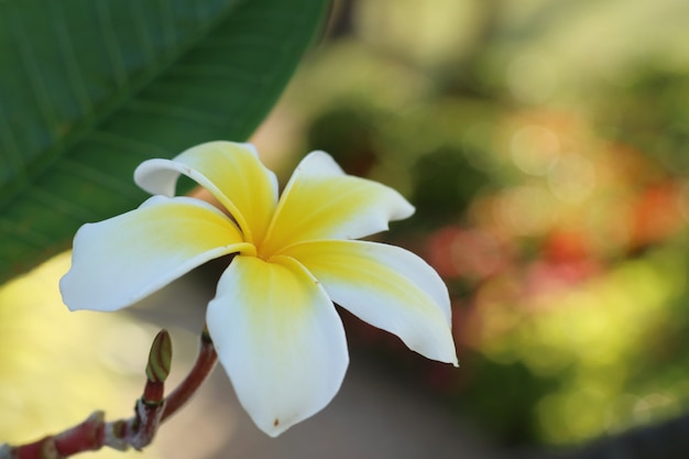 Tropical flowers white frangipani
