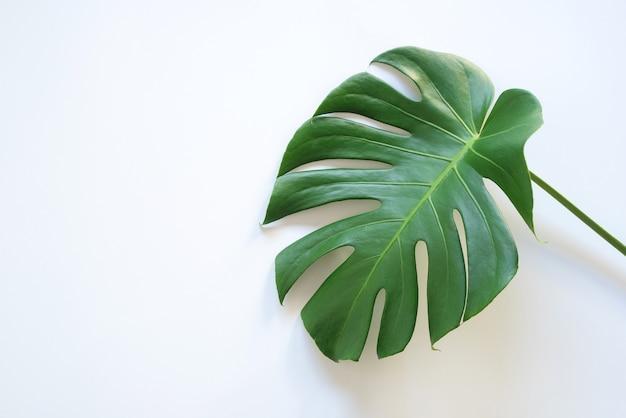 熱帯の葉のモンステラは、白い背景で隔離のフラワーアレンジメントの自然な背景を残します