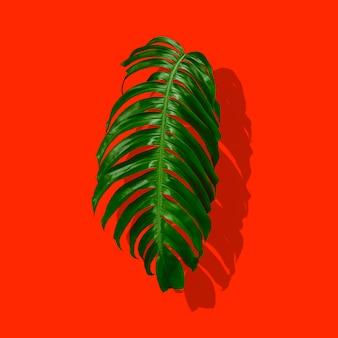 그림자와 함께 빨간색 배경에 고립 된 열 대 숲 몬스 테라 녹색 잎