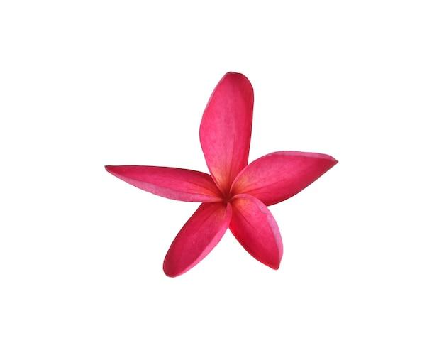 白い背景に分離された熱帯プルメリアの花