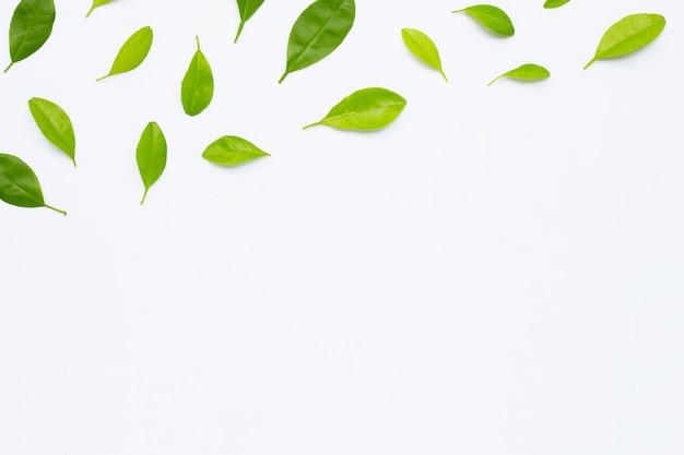 고립 된 망고의 열 대 과일 잎