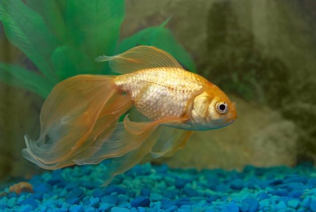 수족관에서 열대 황금 물고기.