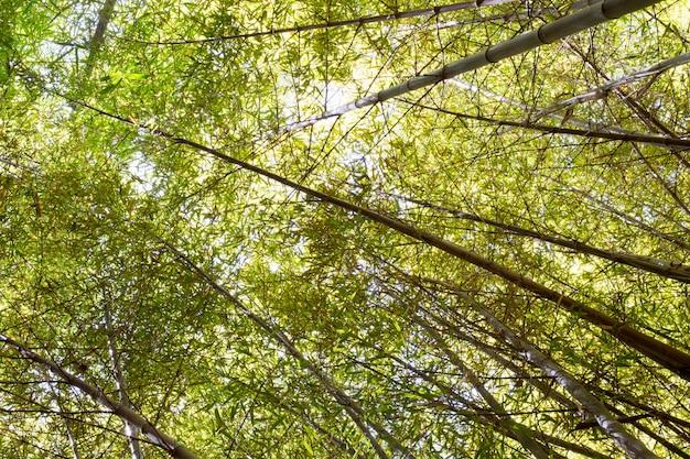 Foresta di bambù verde tropicale