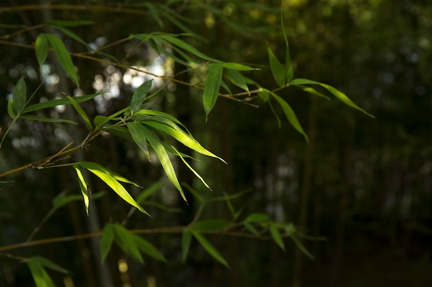 Tropical green bamboo forest