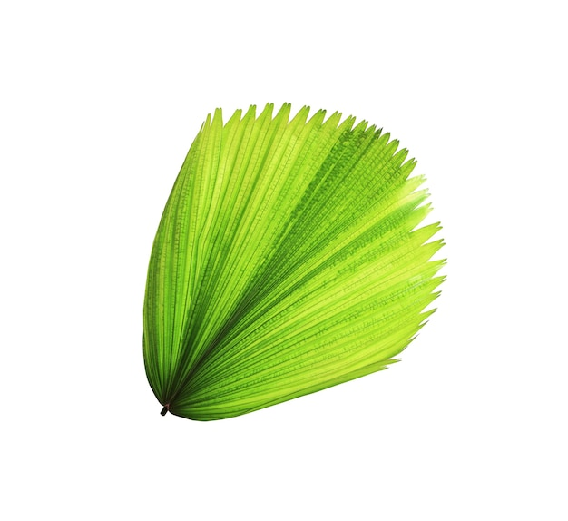 Tropical green blowing palm leaf isolated on white