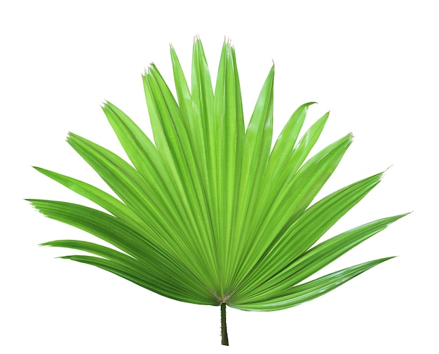 열 대 녹색 중국 풍차 야자수 잎 나무 흰색 배경에 고립