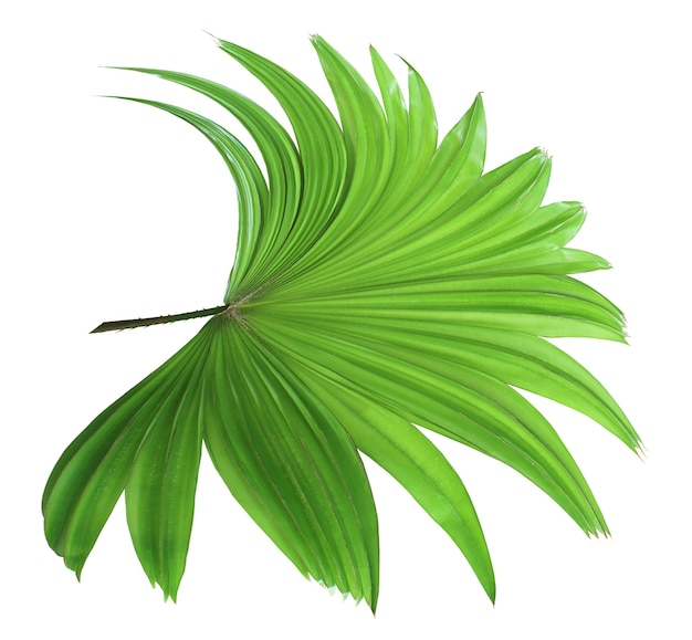 白い背景で隔離の熱帯緑中国風車ヤシの葉の木