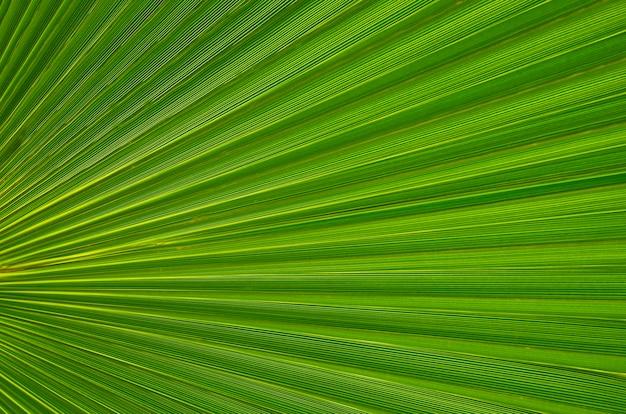 デザインや壁紙の背景として熱帯の緑の葉のテクスチャ。ヤシの木の葉をクローズアップ。緑のヤシの葉。自然な背景。選択と集中。