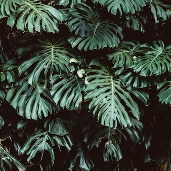 Тропический зеленый цвет выходит предпосылка, лист monstera deliciosa на стену с темный тонизировать, предпосылку концепции картины джунглей, конец вверх. зеленые листья растения monstera филодендрон растет в дикой природе.