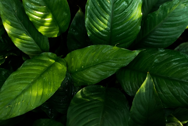 Tropical green leaves on dark background
