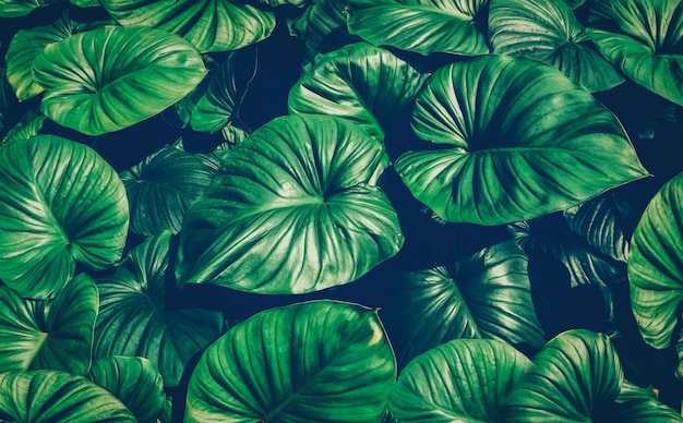 Tropical green leaves, faded dark green filter effect.