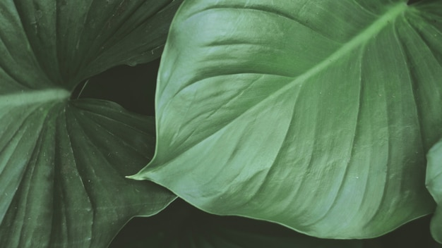 The tropical green leaves . nature abstract wallpaper