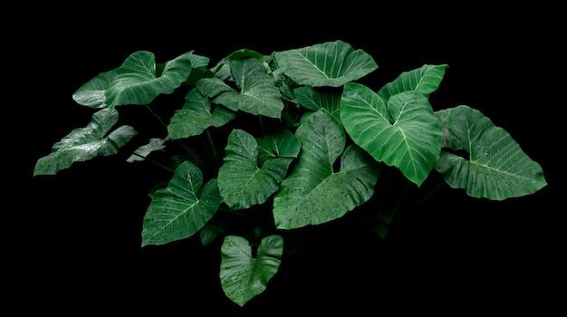 黒の背景に熱帯の緑の葉