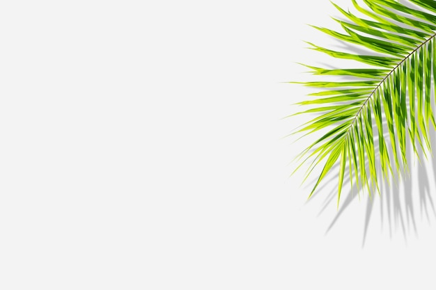 Tropical green leaves of palm tree and shadow isolated on white background.
