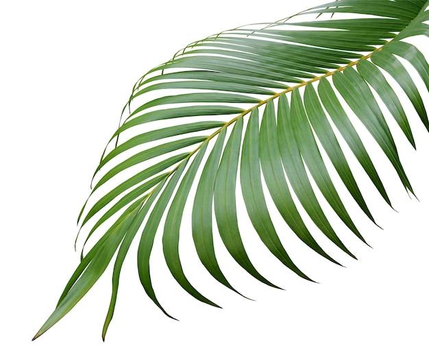 白い背景で隔離の熱帯の緑のヤシの葉の木