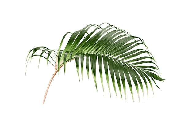 Tropical green palm leaf tree isolated on white