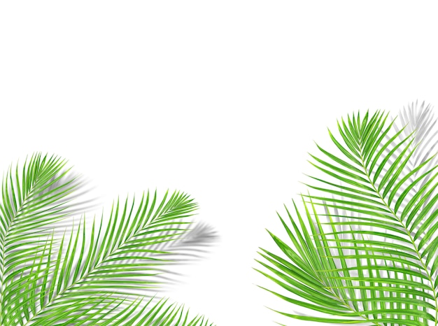 Tropical green palm leaf tree with black shadow