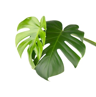 Tropical jungle monstera leaves isolated, swiss cheese plant, isolated on white