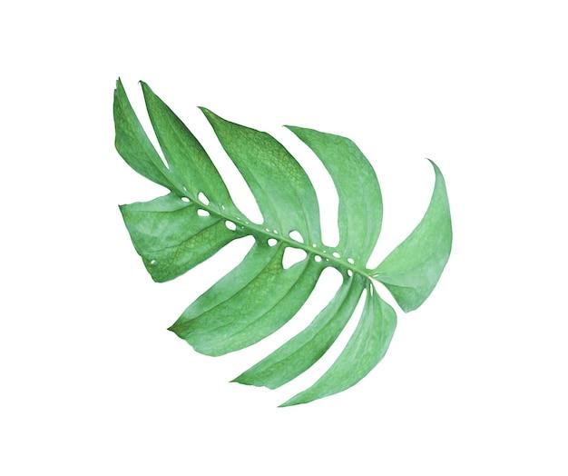 열 대 정글 몬스테라 잎, 흰색 배경에 고립 된 스위스 치즈 잎 나무