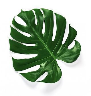 Tropical jungle monstera leaves