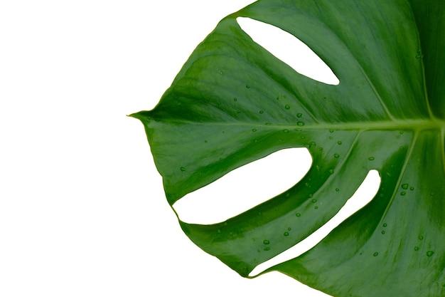 열 대 정글 monstera 식물 잎 흰색 배경에 고립