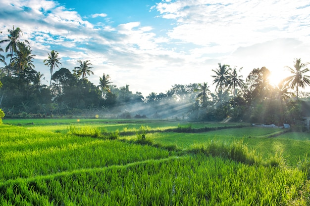 Tropical landscape palm trees rice filed sunset sunrise blue sky