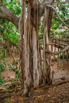 발보아 파크 샌디에이고에 거대한 뿌리를 가진 무화과나무가 있는 열대 풍경