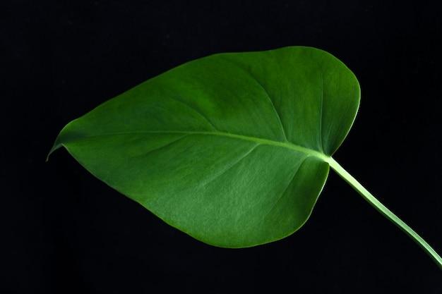 Тропический лист экзотического растения монстера на черном фоне, вид крупным планом