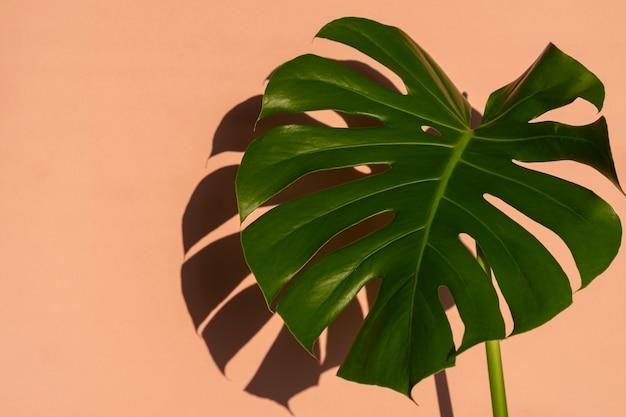 Тропические листья монстера на светло-розовой стене. минимальный летний тропический